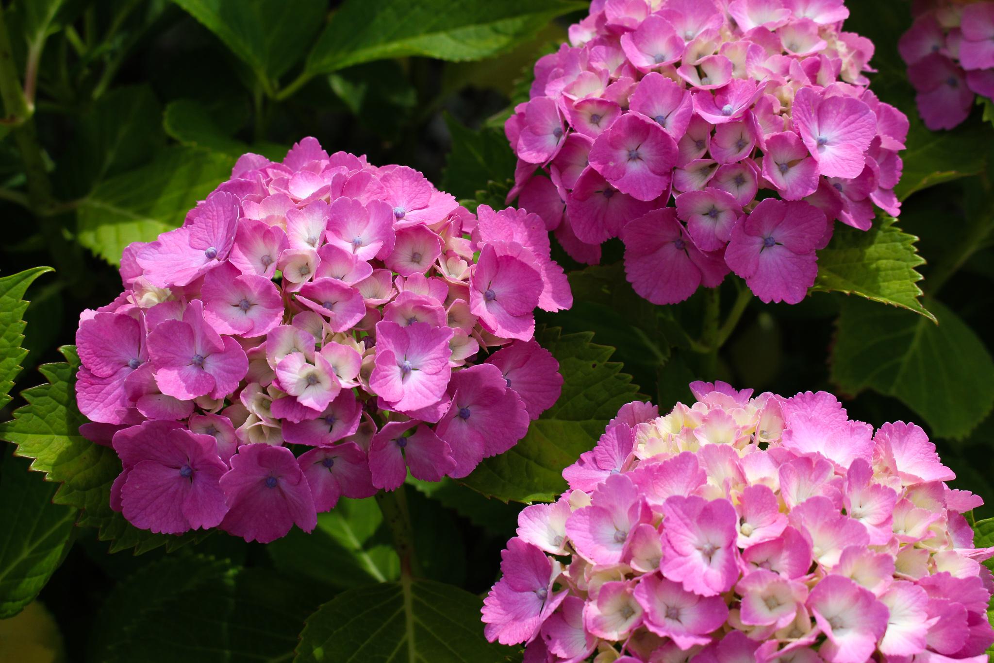 柳谷観音紫陽花8
