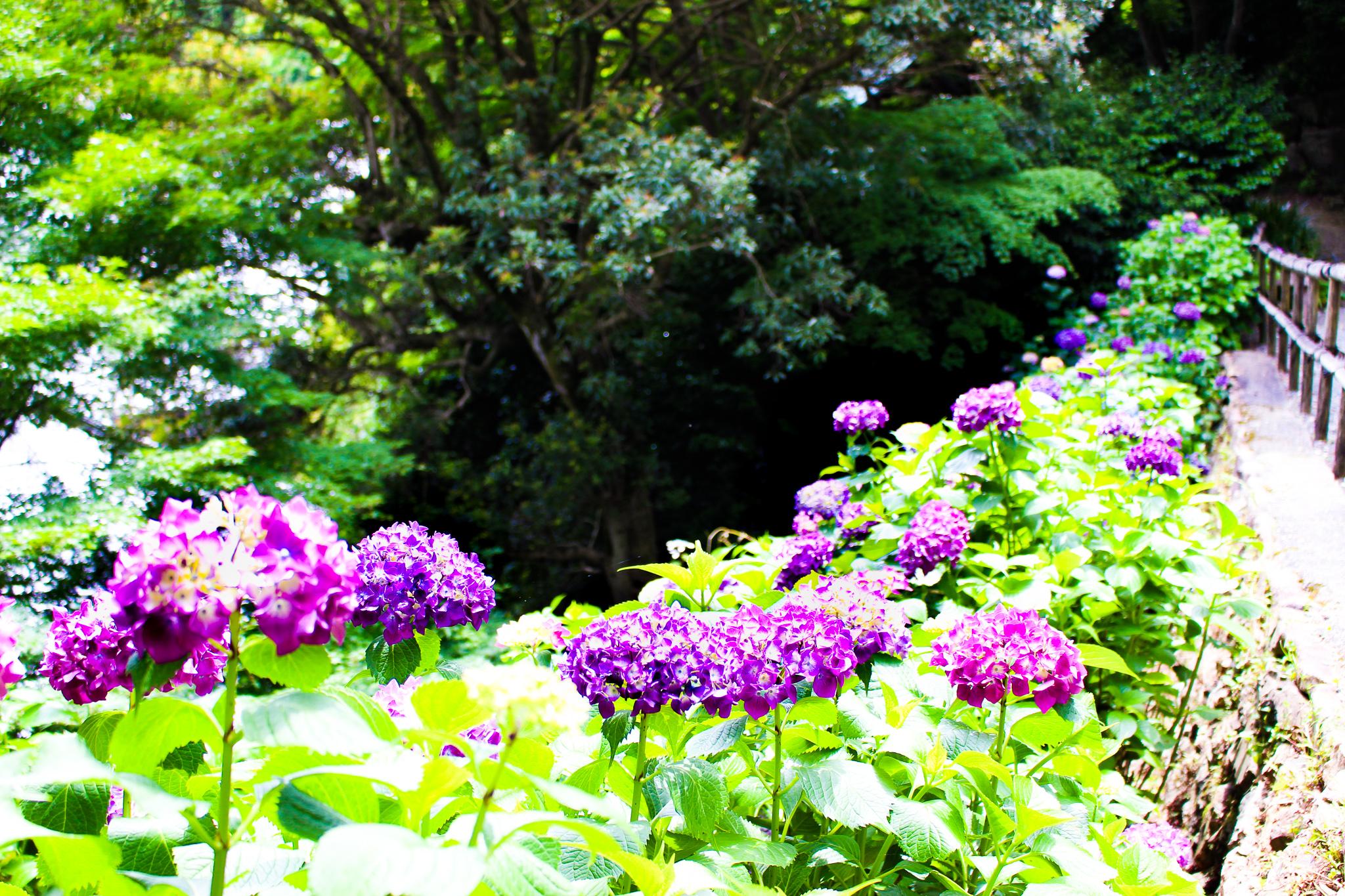 柳谷観音紫陽花5
