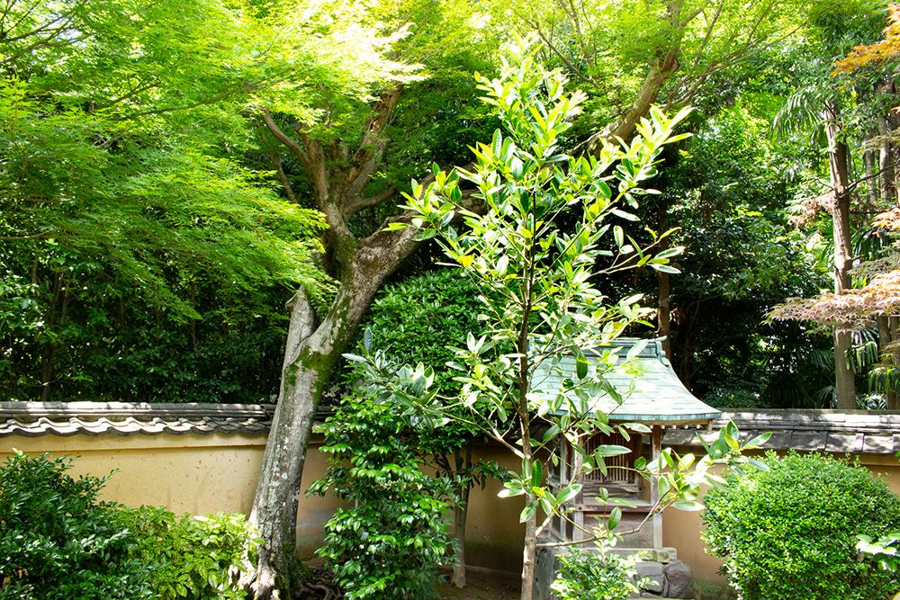 多羅葉の樹