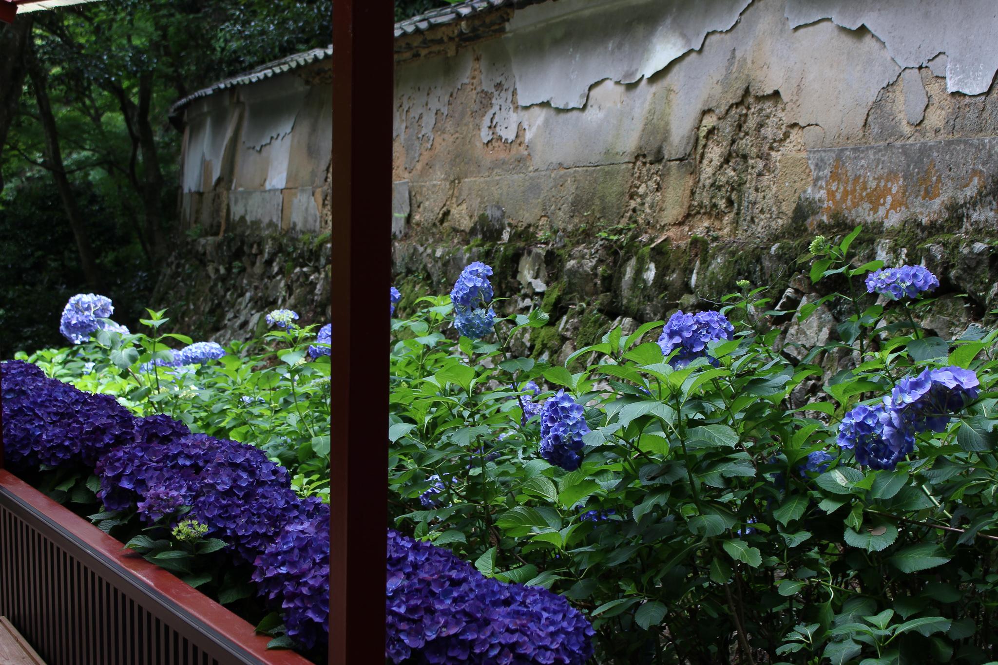 紫阳花回廊2