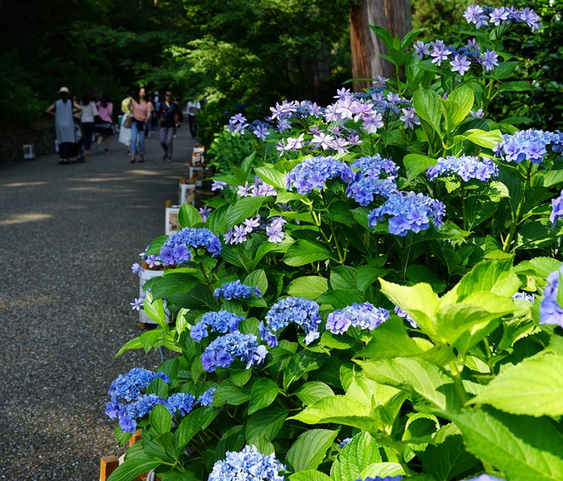 三室戸寺~アジサイ咲き誇る初夏の園~